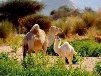Ouargla: de grands efforts pour valoriser et préserver le cheptel camelin