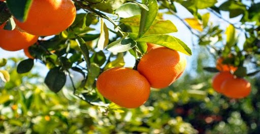 Une production record d'agrumes attendue à Boumerdes