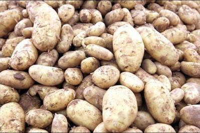 Plus de 84.000 tonnes de semences de pomme de terre déchargées au port de Mostaganem