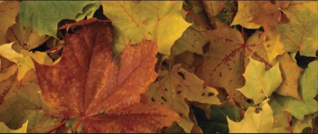 Pourquoi les feuilles d'automne prennent cette couleur