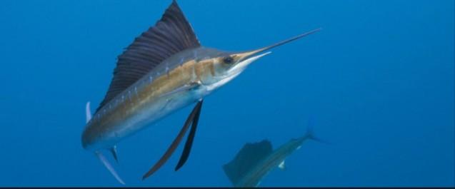 Jijel: la pêche à l'espadon interdite pour repos biologique