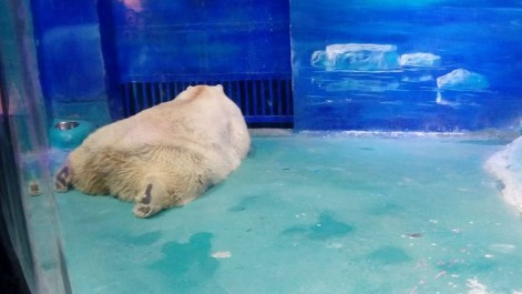 L'ours polaire « le plus triste du monde » ne quittera pas son aquarium du centre commercial chinois Grandview Mall