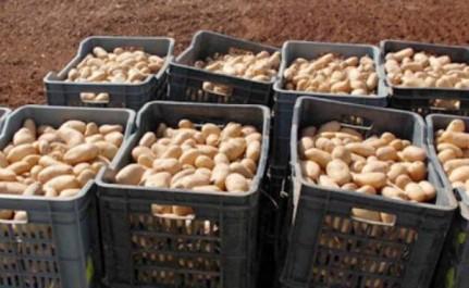 Mostaganem: Un Salon national de la pomme de terre