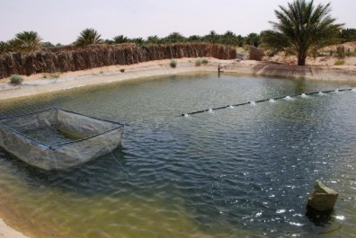 Hassi Benabdallah (Ouargla) : L'élevage de crevettes bientôt opérationnel