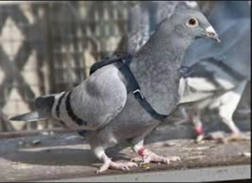 Un pigeon soupçonné d'espionnage est placé en garde à vue