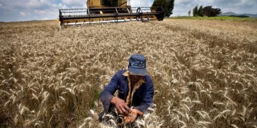Aïn Defla : Une production prévisionnelle de plus de 2 millions de qx de céréales.