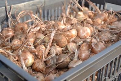 Algérie:Vers la plantation de 26.000 bulbes de safran à Souk Ahras