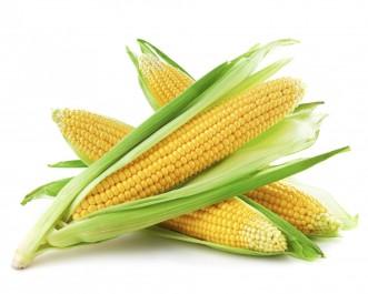 Culture du maïs à Adrar Craintes de retard dans l'écoulement de la récolte