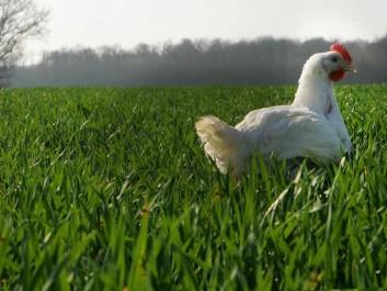 Son prix a atteint 450 DA le Kilogramme: Le poulet…s'envole