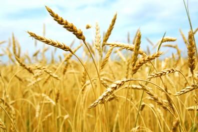 Khemis Miliana: Emergence d'un pôle spécialisé dans la production des semences par la CCLS