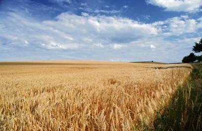 Mila : Une production céréalière de 2, 7 millions de quintaux en 2016