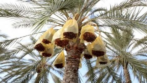 Tebboune à propos de l'exportation de dattes: «Acceptables mais insuffisants»