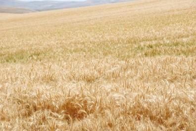 Khenchela: Le désert de Babar transformé en un immense champ de céréales.