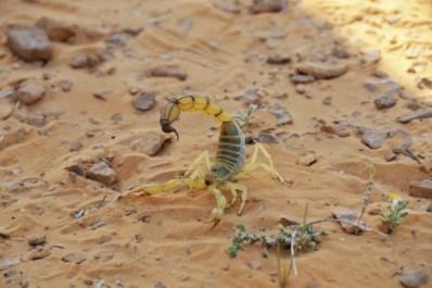 Piqûres scorpioniques: 83 cas à Tissemsilt en 2016