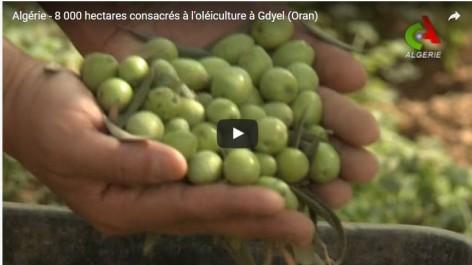 Vidéo: La ville d'Oran intensifie sa production d'huile d'olive