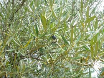 La tisane de feuilles d'olivier: Une arme contre l'obésité