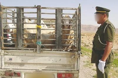 El Tarf: Les éleveurs inquiets de la recrudescence de vols de cheptel