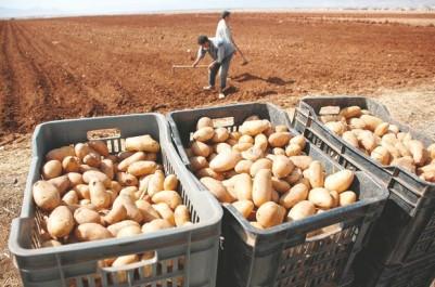 Marché de la pomme de terre: Les professionnels de la filière se réunissent aujourd'hui