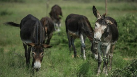 Après la défense d'éléphant et la corne de rhinocéros: La peau des ânes africains au cœur d'un trafic meurtrier