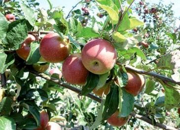 Batna: pari lancé pour l'exportation de la pomme locale d'ici deux ans