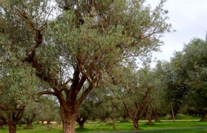 Une approche filière pour le développement de l'oléiculture en zones arides