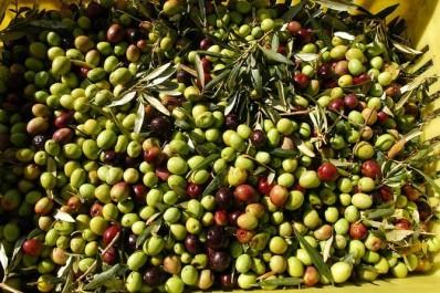 Oléiculture: une cueillette de prés de 24.000 QX d'olives attendue à Ghardaïa