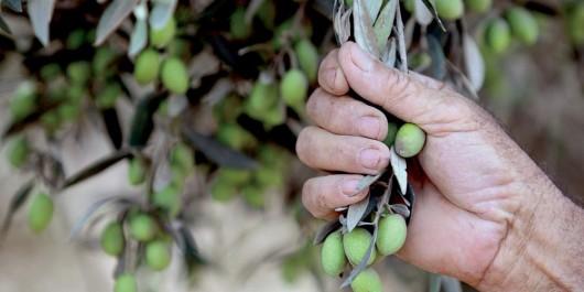 Nécessité d'une approche filière pour le développement de l'oléiculture en zones arides
