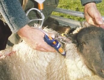 Campagne de vaccination contre la vérole, la rage et la fièvre aphteuse / Les ovins, les vaches laitières et les chiens ciblés