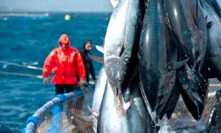 Thon rouge: la campagne de pêche lancée dès vendredi