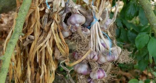 Mila: Une récolte de 60 000 tonnes d'ail attendue
