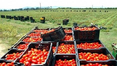 50 000 tonnes de tomate seront récoltées en juillet