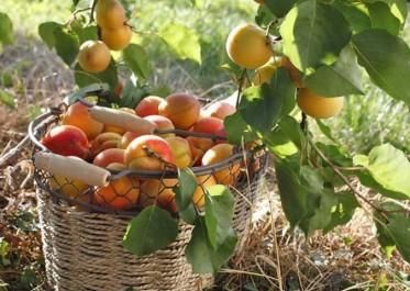 Malgré les ravages causés par les hordes de sangliers: Une récolte de 71.000 quintaux de fruits à noyaux et à pépins prévue à Oran