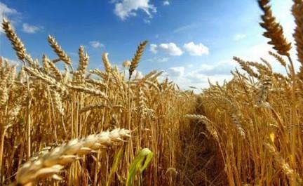 Les rendements des récoltes céréalières compromis