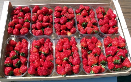 Tipasa: La fraise, reine de la foire agricole