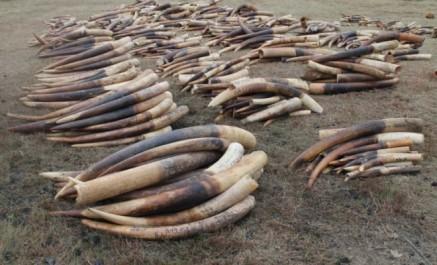 Démantèlement d'un réseau de trafic d'ivoire à Laghouat