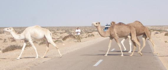 Ghardaia: un bus percute un chameau, 34 blessés