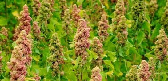 Ouargla : Des indices encourageants pour la production du quinoa en milieu oasien  (Institut)