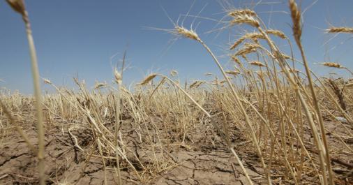Algérie: Le recours aux variétés de céréales résistantes à la sécheresse, «une nécessité» (spécialistes)