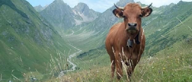 Pour 16 millions d'Américains, le lait chocolat vient de vaches marron