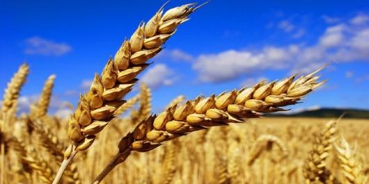 Céréales : Le blé et le maïs orientés à la hausse