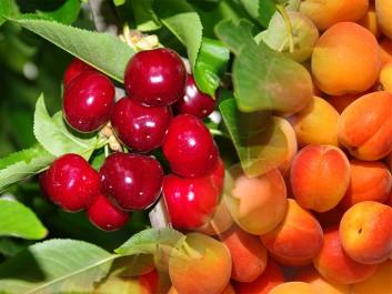Tlemcen: Cerise, pêche et abricot à gogo