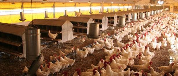 Algérie:Les producteurs d'aliments de bétail et de volaille rassurés quant à la disponibilité des matières premières