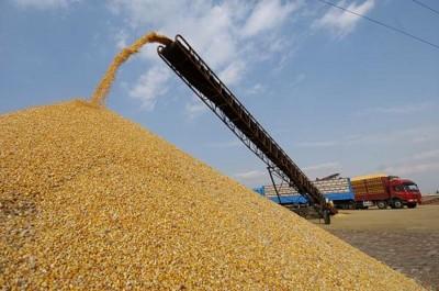 Algérie: Baisse considérable de la production céréalière dans la wilaya de Batna