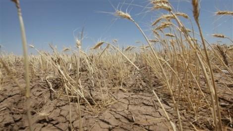 Guelma: Les céréales et le manque de pluviométrie