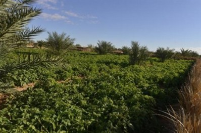 Ouargla: la menthe verte, un produit du terroir à valoriser