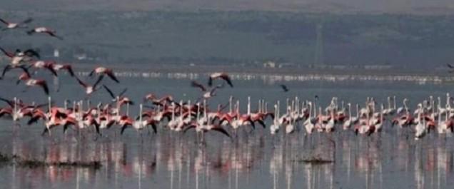 Lac Télamine (Oran): le paradis des flamants roses en péril