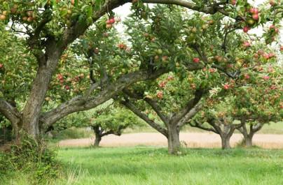 Récolte de pomme Batna: Plus de 900.000 quintaux attendus