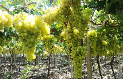 Une production de prés de 42.000 quintaux de raisin de table précoce attendue dans la wilaya de Ghardaïa