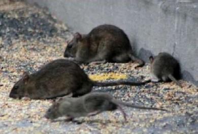 Relizane: Prolifération inquiétante de moustiques et de rats