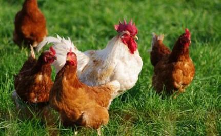"""Selon le groupe avicole de l'Est: Une """"tension virtuelle"""" sur l'aliment de volaille"""